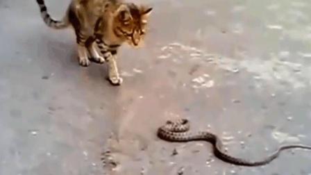 猫蛇大战, 看看谁的攻击速度更快