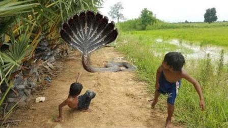 为何柬埔寨的孩子抓蛇如同抓黄鳝, 看完这个视频你就明白了!
