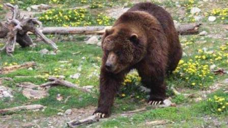 棕熊想猎杀小牛, 牦牛妈妈拼死把熊顶跑