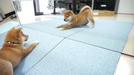 【 柴犬】第一次照镜子, 不知所措【狗】
