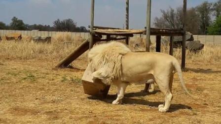 狮子见了纸箱, 猫科动物本性大爆发!