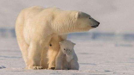 北极熊妈妈为了幼崽 , 潜入水中打捞食物