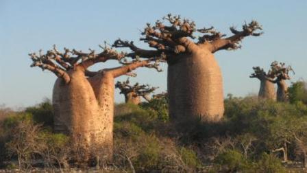 中国大规模引进猴面包树, 一棵树能养活四个人, 真有这么神奇?