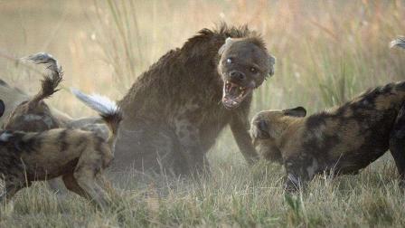 非洲鬣狗遭同类掏 野狗的出现才趁机逃脱