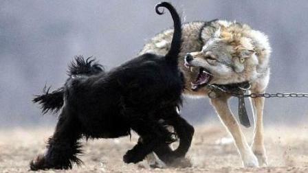 实拍7条猎狗围攻一匹150斤野狼!
