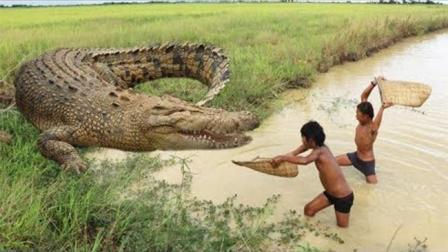 凶猛的鳄鱼, 遇到柬埔寨这几个娃, 结局比大蟒蛇还悲惨