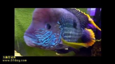 07day造景 观赏鱼 玉面皇冠鱼Andinoacara rivulatus