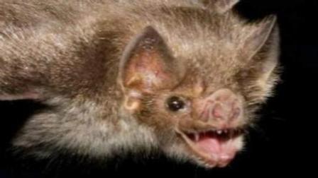 恐怖! 致命蝙蝠疯狂吸血瞬间
