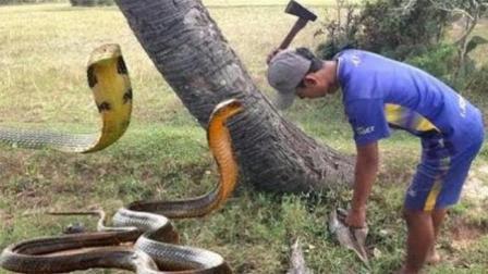 农村放牛娃郊外放牛, 不料脚下踩到一条大蛇, 结果悲剧啊!