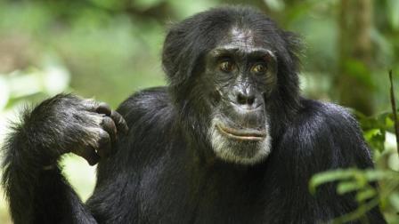 黑猩猩会剥皮吃水果, 大象也会画画, 这些动物逆天了?