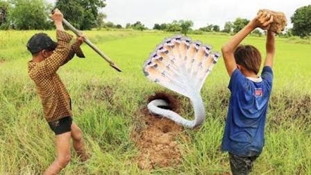 三个男孩田间抓蛇, 见洞就挖, 结果搞到几条大家伙