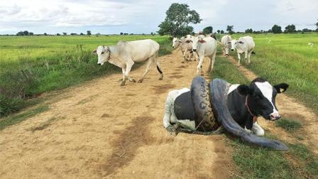 两个男孩骑摩托车去郊外, 竟有一条大蟒蛇杀出来拦路, 太可怕了!