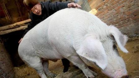 聪明! 此人养1000斤公猪, 引来上百头野母猪, 一年就赚了1000多万!
