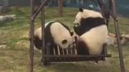 两只大胖熊争着荡秋千, 秋千君承受不住只能选择死亡