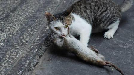 猫捉老鼠慢动作视频, 原来家猫也很厉害