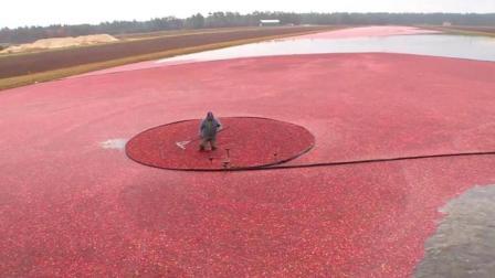 美国工人收割蔓越莓 红色海洋鲜艳可口