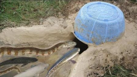 农村男子在水葫芦池塘边挖坑抓鱼, 不料引来这种可怕有毒动物