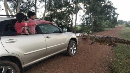 全家人开车去旅行, 路边突然有一条鳄鱼跑出来觅食, 太可怕了!