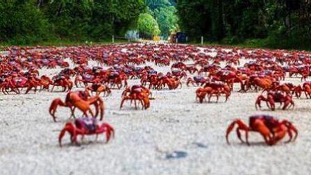实拍千万红蟹遭蚂蚁群残杀瞬间