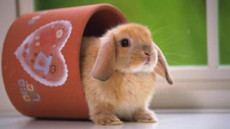 萌宠视频: 超可爱的垂耳兔, 天天粘着主人, 一会不摸头就生气