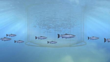 你吃的三文鱼, 当属挪威最有名! 大网箱养殖有门道