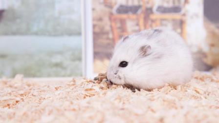 萌宠视频: 喜欢在深夜玩耍的银狐小仓鼠, 大半夜的还让主人陪着玩