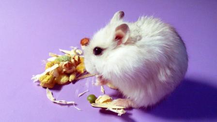 萌宠日常: 仓鼠宝宝觉得自己太胖了, 每天拼命的跑步减肥