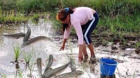 柬埔寨的妇女真勤劳, 家里没肉吃, 直接下田去抓鱼, 这场景少见了