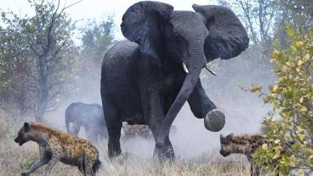 鬣狗把头伸进大象内掏东西, 忽然崩出一坨东西吓坏非洲二哥