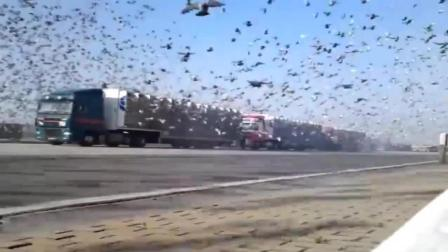 国外一神秘组织将8000万只鸽子瞬间放生, 场面及其令人震撼, 但是当地的百姓却遭殃了