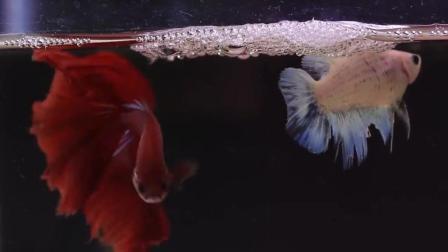 07day造景 观赏鱼 斗鱼繁殖