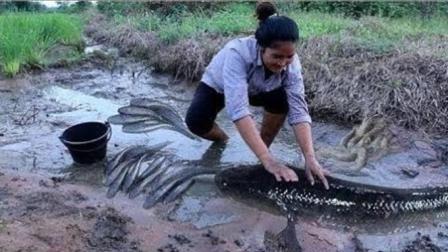 柬埔寨水田里黑鱼泛滥成灾, 舀舀水就可以抓了