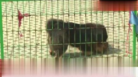 藏獒PK比特犬, 一招制敌, 打得它无招架之力