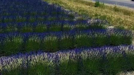 法国旅游, 航拍美丽的普罗旺斯薰衣草种植园, 此景美不胜收