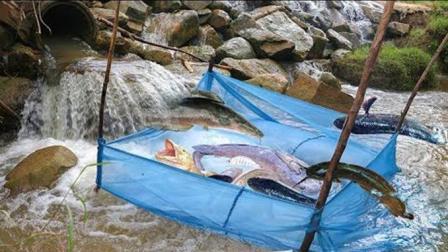 特大号渔网挡在出水口捕鱼, 几个小时收获满满一笼, 超过瘾!