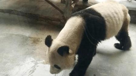 网传西安秦岭野生动物园大熊猫瘦成皮包骨 园方: 牙髓炎导致
