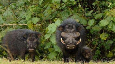 养猪农民用野猪和家猪杂交, 生下来的小猪不仅生病少长得快