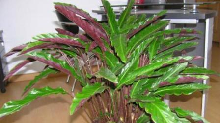 紫倍竹芋的养殖注意事项