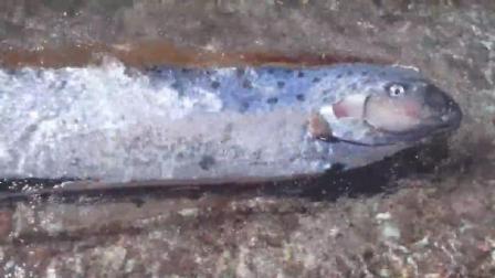 五六米的巨大带鱼拼命往沙滩上游, 喂, 大海才是你的家!