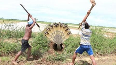 实拍: 两个农村男孩在田边挖蛇, 见洞就挖, 一下午搞了半袋