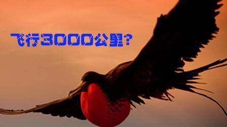 世界上飞得最快的鸟是军舰鸟 可飞3000公里 比跑车都快
