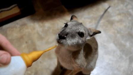 萌宠视频: 萌宠袋鼠每天快乐日常, 养一只袋鼠当宠物是这样的感觉