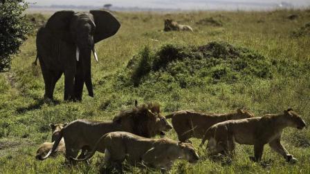 看得我热血沸腾, 大象杀入狮群, 动物之间的生死大作战