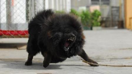 藏獒看到街上的土狗就冲上开咬, 结果差点被土狗咬死