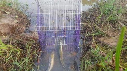 农村美女在水稻边放了个铁笼, 轻松捉到大黑鱼, 美女好开心