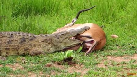 黑斑羚被鳄鱼死死咬住下一秒结局意想不到