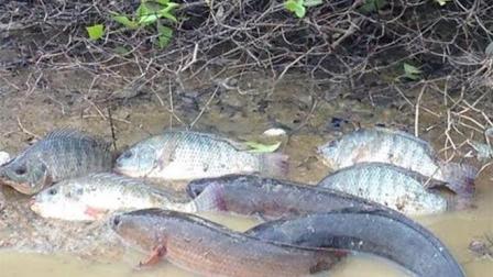 柬埔寨的荒田鱼多成灾, 空手抓鱼, 一抓一大把!