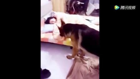 美女盖着被子睡觉, 狗狗跑来用力一扯, 画面尴尬