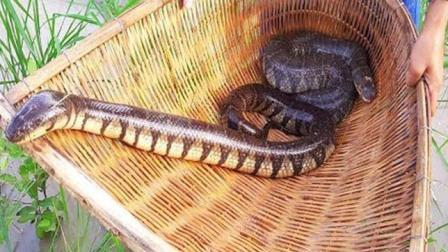 实在佩服柬埔寨的孩子, 下田抓蛇跟抓鱼似的, 一摸就是两大条
