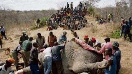 实拍: 非洲人吃一头成年大象只需1小时, 甚至还有人直接生吃!